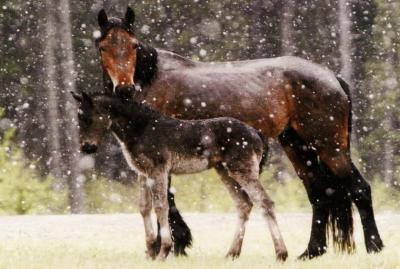 WHOASpic_mom&foal