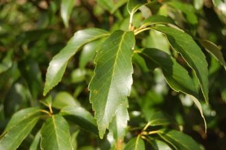 Quercus glauca Leaf (02/02/2104, Kew Gardens, London)