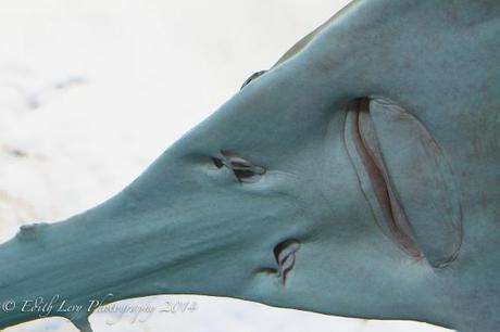 Ripley's Aquarium, Toronto, tank, Saw Shark, face, water, underwater, Toronto attractions