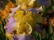 More Bearded Irises