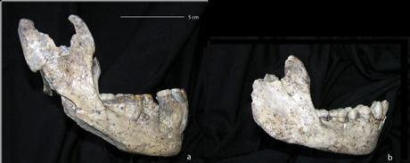 The two jaws from Dmanisi being examined. The new one (left) and the subadult (right)