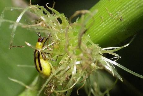 Corn rootworm on the roots of a corn plant. Image: Sarah Zukoff/Flickr