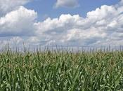Seed Saving 101: Understanding Isolation Distances Corn