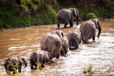 Kenya: African elephants crossing the Mara River, Maasai Mara National Reserve