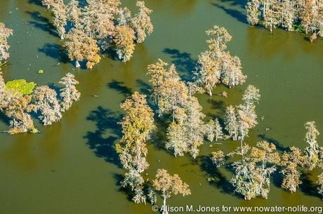 USA: Louisiana, Aerial photo of Atchafalaya Basin area, St Martin Parish, bald cypress standing in wate