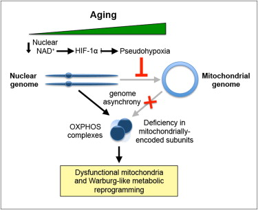 Restoring mitochondrial dysfunction associated with aging.