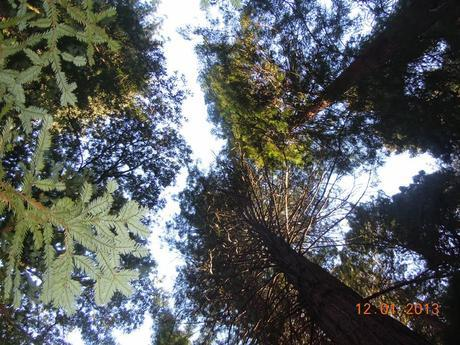 Clichéd touristy click of the skies through the tall trees