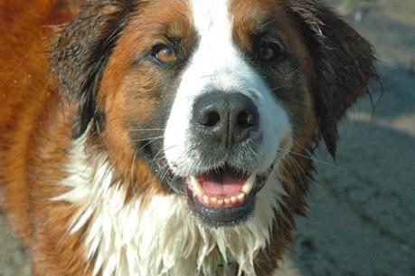 A Mix of Tricks: The Highly Intelligent Saint Bernese Dog ...