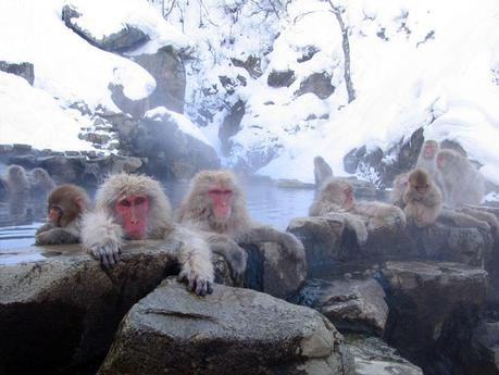 Japanese Macaque Wallpaper Japanese Macaques Wallpapers