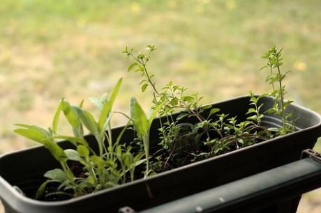 steps to your own herb garden