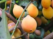 Fruit Cargo Theory Mangosteen (Mangustan) Link Missing Malaysian Airline