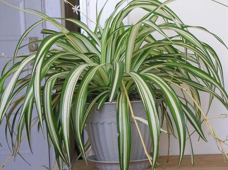 Overprotecting? My Spider Plant