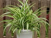 Overprotecting? Spider Plant