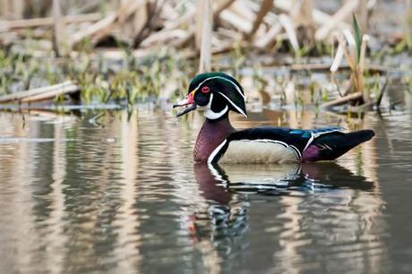 Drake-Wood-Duck-at-HM-3