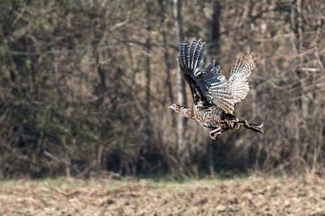 Turkeys-at-Merrimac-Farm-WMA-3