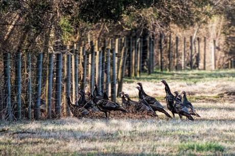 Turkeys-at-Merrimac-Farm-WMA-2
