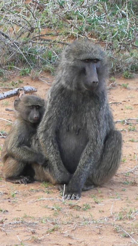 baboon1