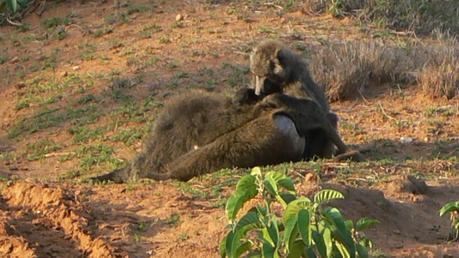 baboon2