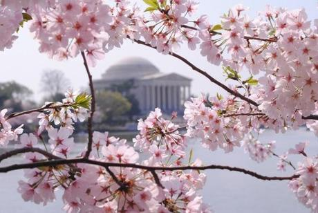 DC Cherry Blossom @Simone Design Blog