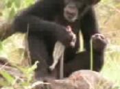 Chimps Hunt?