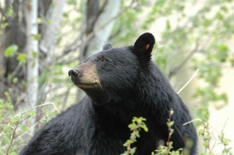 7th Bear–Including An Adult Female Bear–Killed After Woman Bitten in Florida