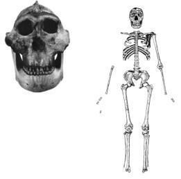 The skull of P. boisei (right) and Homo erectus (left)