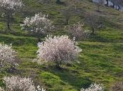 Almond Tree: Promise Beauty, Symbol Resurrection