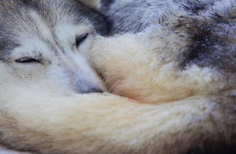 huskysafari 01 VIDEO: Husky Safari in Lapland