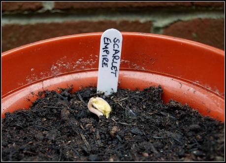 The beans have germinated