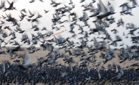 pigeons seized by Chennai Customs ~ death of P mail... and homing pigeons