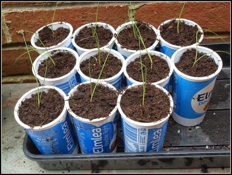 Transplanting leeks