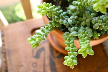 Succulent-Care-101-Plant-Burro-Tail-Garden-Gardening-Pot-Planter-Clay-Crate-Vintage-Antique-7up-Patio-Decorating