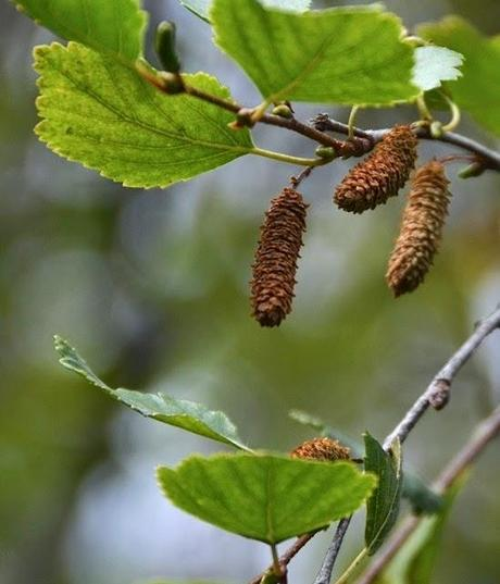 Are you an alder or a birch?