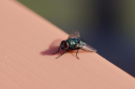 27_Bottle Fly