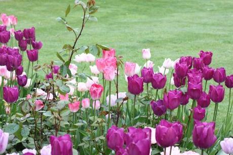 Tulips Purple Prince & Ganders's Philosophy