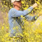 Collecting mustard flowers