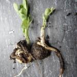 Pea Seedings