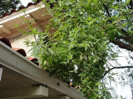 Large plant growing out of gutter