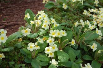 Primula vulgaris (13/04/2014, Torquay, Devon)