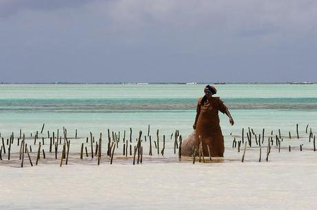 Zanzibar's seaweed harvest under threat from climate change