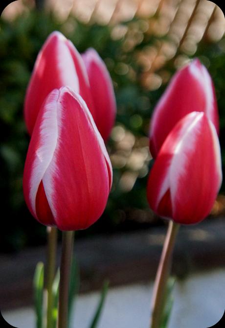 tulips in the garden - 'growourown.blogspot.com' ~ an allotment blog