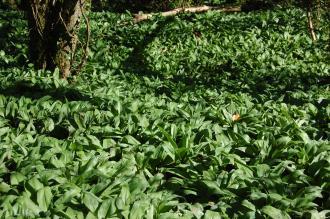 Allium ursinum (14/04/2014, Torquay, Devon)