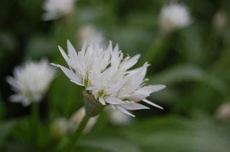 Allium ursinum Flower (19/04/2014, Kew Gardens, London)