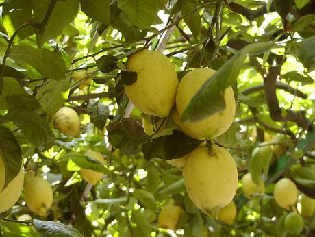 Lemons from Amalfi, and a Lemon Ricotta Bread Recipe