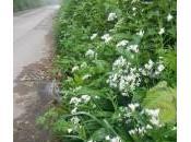 Pickled Wild Garlic Flower Buds