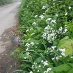 Wild Garlic Allium ursinum in the Hedgerows