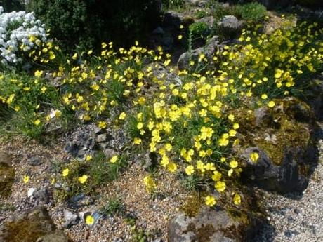 Bright yellow flowers of Ranunculus gramineus