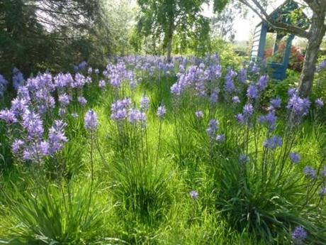 The purple flowering camassias
