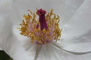 Paeonia 'Bai He Wo Xue' Evolution Plants