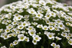 Saxifraga pubescens snowcap Alan and Janet Cook 1st